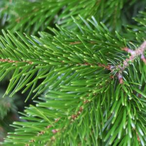 Sapin-de-Noel-Nordmann-zoom